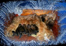 Foto 2 Berger de Brie -Briardwelpen zu verkaufen