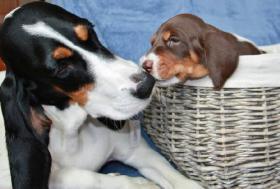 Foto 3 Berner Laufhund wunderschöne Welpen