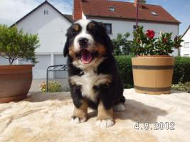 Foto 3 Berner Sennenhund