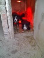 Berner Sennenhund Welpen zu verkaufen