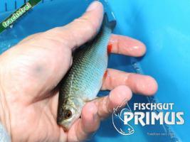 Foto 2 Besatzfische - 30 Rotfedern ca. 10-15 cm