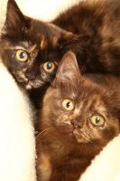 Bezaubernde BKH Kitten in red und tortie