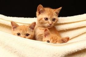 Foto 4 Bezaubernde BKH Kitten in red und tortie