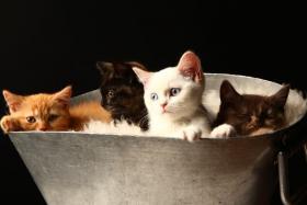 Foto 7 Bezaubernde BKH Kitten in red und tortie