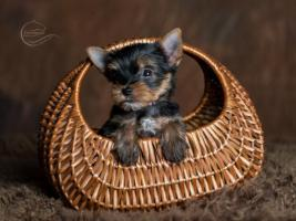 Foto 3 Bezaubernde Yorkshire Terrier Welpen aus seriöser Hobbyzucht