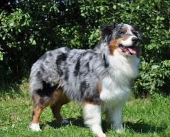 Bhava-Nitja Australian Shepherd Welpen in Planung