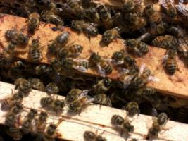 Bienen Ableger