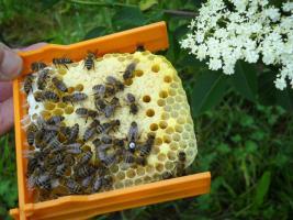 Bienen Leistungsstarke Carnica Reinzuchtkönigin