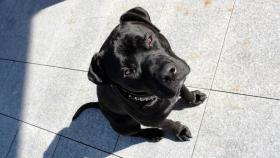 Biete Deckrüden - American Pitbull Terrier