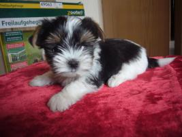 Foto 4 Biewer Yorkshire Terrier