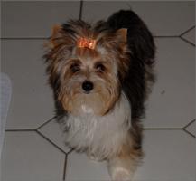 Foto 2 Biewer Yorkshire Terrier Hündin