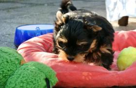 Foto 4 Biewer Yorkshire Terrier Hündin Spalter (Carrier)
