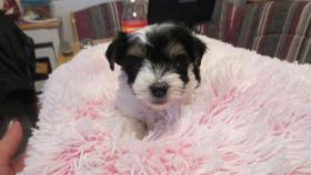 Foto 2 Biewer Yorkshire Terrier Welpe