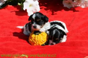 Foto 3 Biewer Yorkshire terrier