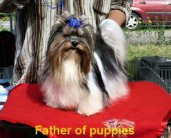 Foto 5 Biewer Yorkshire terrier