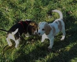 Foto 2 Bildhübsche Beagle Welpen