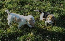 Foto 3 Bildhübsche Beagle Welpen