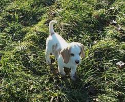 Foto 4 Bildhübsche Beagle Welpen