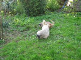 Foto 3 Bildhübsche, silberne Skye Terrier , ca 5 Jahre alt sucht liebevolle Familie