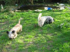 Foto 4 Bildhübsche, silberne Skye Terrier , ca 5 Jahre alt sucht liebevolle Familie
