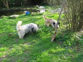 Foto 5 Bildhübsche, silberne Skye Terrier , ca 5 Jahre alt sucht liebevolle Familie