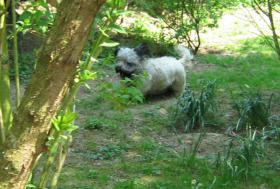 Foto 8 Bildhübsche, silberne Skye Terrier , ca 5 Jahre alt sucht liebevolle Familie