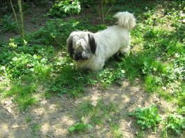 Foto 9 Bildhübsche, silberne Skye Terrier , ca 5 Jahre alt sucht liebevolle Familie