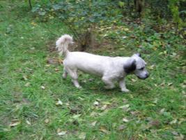 Foto 10 Bildhübsche, silberne Skye Terrier , ca 5 Jahre alt sucht liebevolle Familie