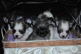 Bildschöne Chihuahua Welpen , günstig!!!
