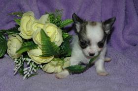 Foto 2 Bildschöne Chihuahua Welpen , günstig!!!