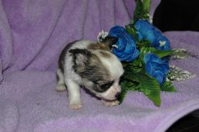 Foto 3 Bildschöne Chihuahua Welpen , günstig!!!