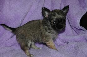 Foto 4 Bildschöne Chihuahua Welpen , günstig!!!