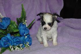Foto 5 Bildschöne Chihuahua Welpen , günstig!!!