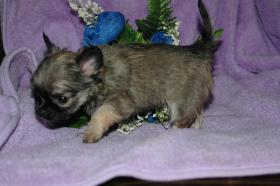Foto 6 Bildschöne Chihuahua Welpen , günstig!!!