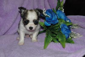 Foto 7 Bildschöne Chihuahua Welpen , günstig!!!