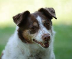 Bine - Jack Russell Terrier Mix sucht dringend ein neues Zuhause