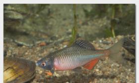 Biotopfische in großer Auswahl / Fa.Fördefisch