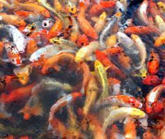 Foto 2 Biotopfische in großer Auswahl / Fa.Fördefisch