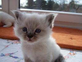 Foto 2 Birma Kitten