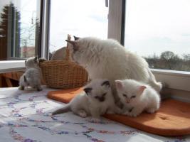 Foto 4 Birma Kitten