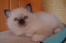 Foto 3 Birmakätzchen, süße Schmuser!