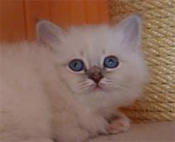 Foto 4 Birmakätzchen, süße Schmuser!