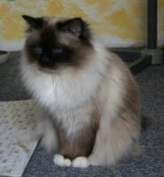 Birmakater seal-point 1, 5 Jahre alt