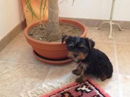 Bischon Frisse und yorkshire Terrier Welpen
