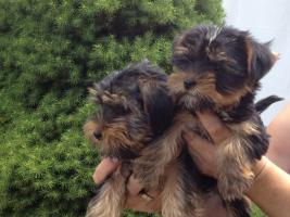 Foto 2 Bischon Frisse und yorkshire Terrier Welpen