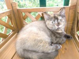 Foto 3 Bkh Baby Kitten Queen Mary vom Knuddelzoo Katze Mädchen Chocolate tortie