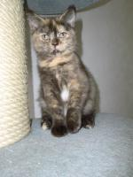 Foto 5 Bkh Baby Kitten Queen Mary vom Knuddelzoo Katze Mädchen Chocolate tortie