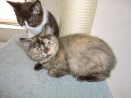 Foto 6 Bkh Baby Kitten Queen Mary vom Knuddelzoo Katze Mädchen Chocolate tortie