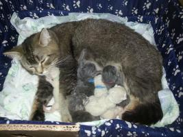 Foto 2 Bkh Kitten in point, blue und tabby