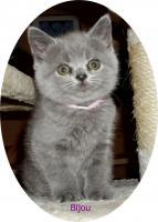 Bkh Kitten, reinrassig mit Papiere